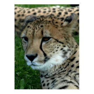 Spotted Cheetah Postcard