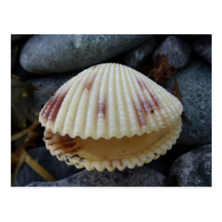 Spotted Cockle Shell, Dutch Harbor, AK Postcard