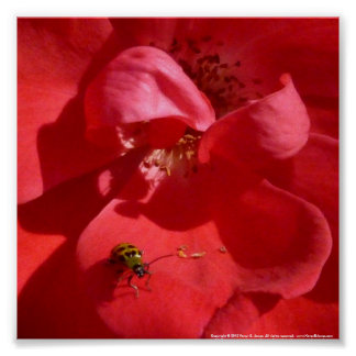 Spotted Cucumber Beetle on a Rose Blossom Poster