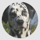 Spotted Dalmation Sticker