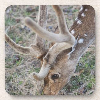 Spotted deer or chital in Indian tiger reserve Coaster