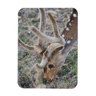 Spotted deer or chital in Indian tiger reserve Magnet