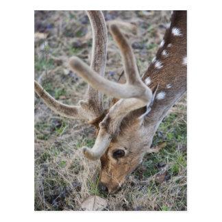 Spotted deer or chital in Indian tiger reserve Postcard