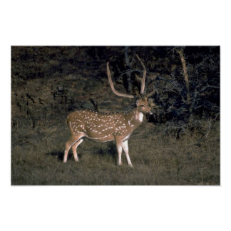 Spotted deer posters
