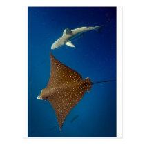 Spotted eagle ray and reef shark underwater postcard