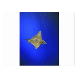 Spotted eagle ray swimming underwater Galapagos Postcard