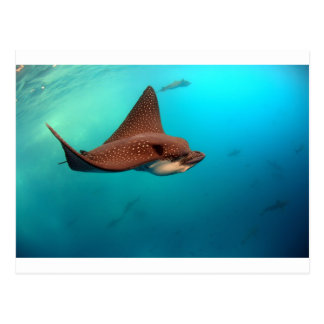Spotted eagle rays Galapagos Islands Postcard