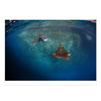 Spotted eagle rays in the Galapagos Postcard