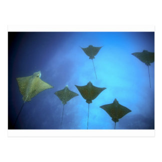 Spotted eagle rays swimming underwater Galapagos Postcard