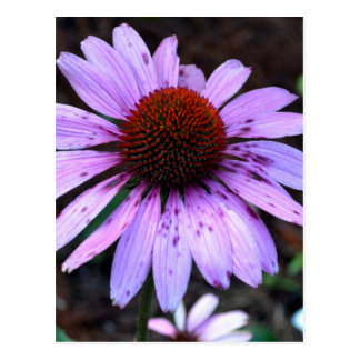 Spotted Echinacea Flower Postcard