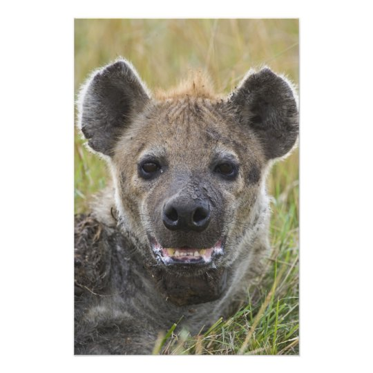 Spotted Hyena portrait, Crocuta croduta, Masai Photo Print