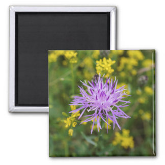 Spotted Knapweed Purple Wildflower Square Magnet