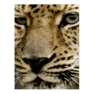 Spotted Leopard Postcard