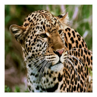 Spotted Leopard Poster