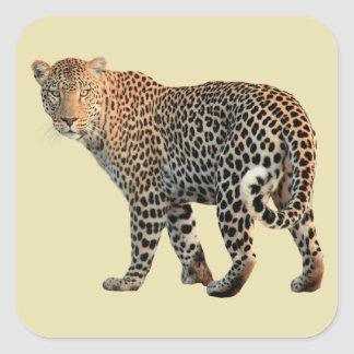 Spotted Leopard Wild Cat Photograph Square Sticker