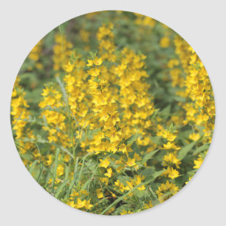 Spotted loosestrife (Lysimachia punctate). Classic Round Sticker