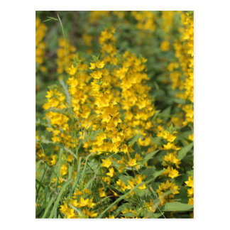 Spotted loosestrife (Lysimachia punctate). Postcard