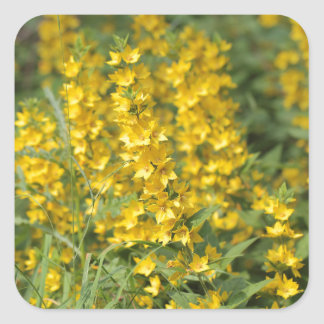 Spotted loosestrife (Lysimachia punctate). Square Sticker