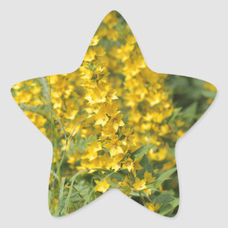 Spotted loosestrife (Lysimachia punctate). Star Sticker