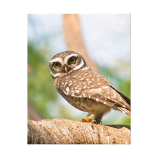 Spotted owl on morning flight. canvas print