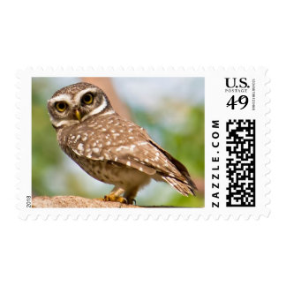 Spotted owl on morning flight. postage