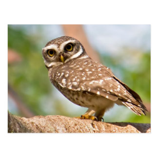 Spotted owl on morning flight. postcard