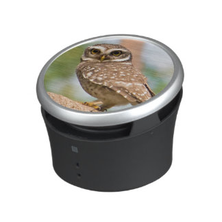 Spotted owl on morning flight. speaker