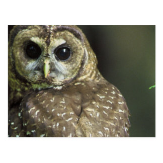 Spotted Owl Postcard