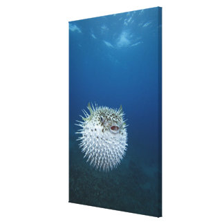 Spotted Porcupine Fish Canvas Print