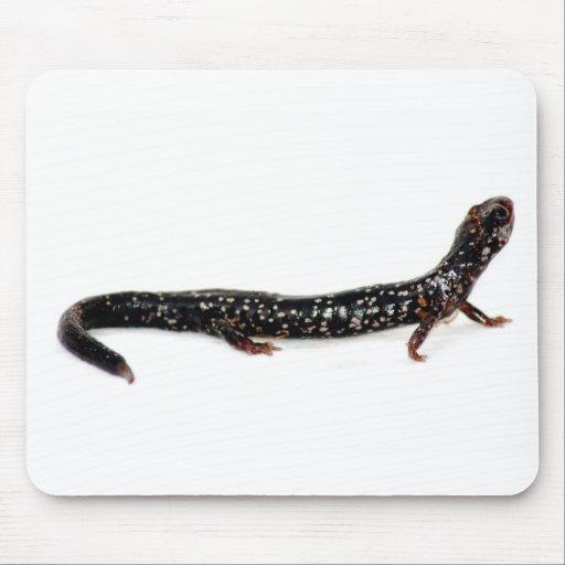 N American Salamander spotted salamander of ...