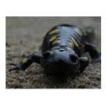 Spotted Salamander Post Cards