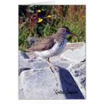Spotted Sandpiper 1 Greeting Card