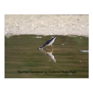 Spotted Sandpiper at Codorus State Park Postcard
