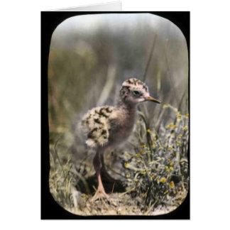 Spotted sandpiper card