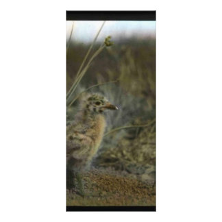Spotted sandpiper full color rack card