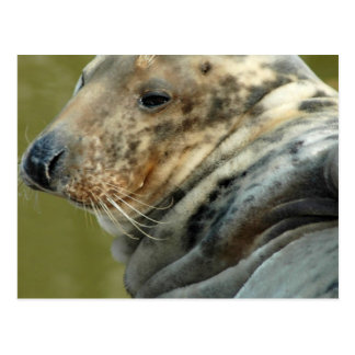 Spotted Seal Postcard