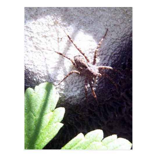 Spotted Spider Postcard
