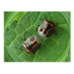 Spotted Stink bugs ~ postcard