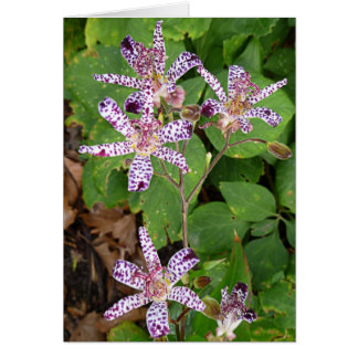 Spotted Toad Lily flowers Card