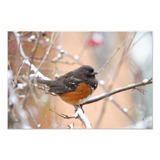 Spotted Towhee in the Snow Photo Print