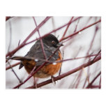 Spotted Towhee Postcards