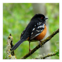 Spotted Towhee Print