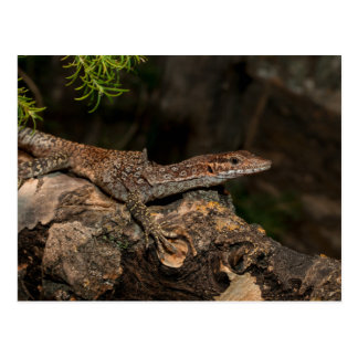Spotted Tree Monitor Postcard