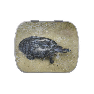 spotted turtle coming to water surface jelly belly tins
