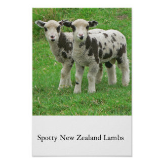 Spotty NZ Lambs Poster