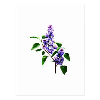 Spray of Lilacs Postcard