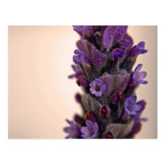 Sprig of Lavender Postcard