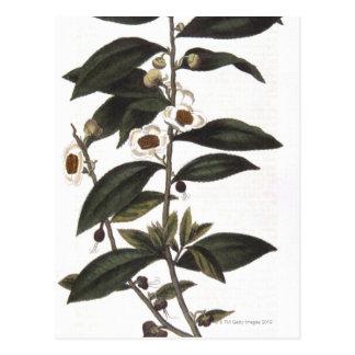 Sprig of tea bush postcard