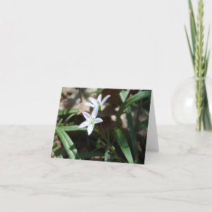 Spring beauty (Claytonia virginica) card