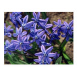 Spring Beauty, (Scilla Sibirica) flowers Post Cards